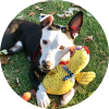 Easily adopt Rudy at Chicago Animal Advocates and be a part of the pet adoption, animal rescue and welfare movement.