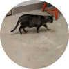 Easily adopt Laguinita at Harmony House for Cats and be a part of the pet adoption, animal rescue and welfare movement.