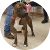 Easily adopt Rookie at Chicago Animal Care & Control and be a part of the pet adoption, animal rescue and welfare movement.