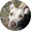 Easily adopt Lima Bean at Chicago Animal Care & Control and be a part of the pet adoption, animal rescue and welfare movement.