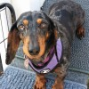 Easily adopt Pebbles #4 in TN at All American Dachshund Rescue and be a part of the pet adoption, animal rescue and welfare movement.