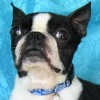 Easily adopt Fenway Clark at Joyful Rescues, Inc. and be a part of the pet adoption, animal rescue and welfare movement.