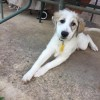 Easily adopt Giana at Great Pyrenees Rescue Society and be a part of the pet adoption, animal rescue and welfare movement.