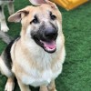 Easily adopt Carson *Tierney/Prada/Carson Litter* at Heartland German Shepherd Rescue and be a part of the pet adoption, animal rescue and welfare movement.