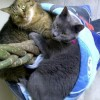 Easily adopt BONDED FRIENDS ORION & MORPHEUS at Animalert Pet Adoption Inc. and be a part of the pet adoption, animal rescue and welfare movement.