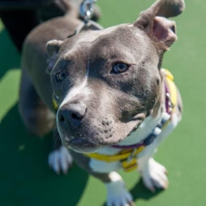 Easily adopt Nena at Peace for Pits and be a part of the pet adoption, animal rescue and welfare movement.