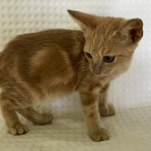 Easily adopt KITTEN RED BOY at Pet Rescue & Adoption Center, Inc. and be a part of the pet adoption, animal rescue and welfare movement.