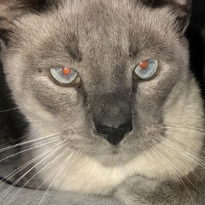 Easily adopt Siamese Boy Kai at Pet Rescue & Adoption Center, Inc. and be a part of the pet adoption, animal rescue and welfare movement.