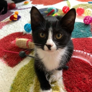 Easily adopt Boston Rob at The Feline Rescue Association and be a part of the pet adoption, animal rescue and welfare movement.