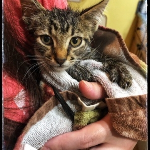 Easily adopt Joey at The Feline Rescue Association and be a part of the pet adoption, animal rescue and welfare movement.