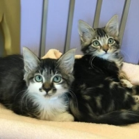 Easily adopt Kittens! at Peninsula Humane Society & SPCA and be a part of the pet adoption, animal rescue and welfare movement.