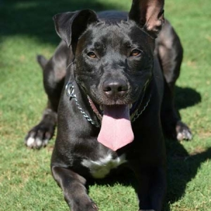 Easily adopt Hank at Coastal German Shepherd Rescue and be a part of the pet adoption, animal rescue and welfare movement.