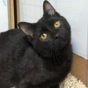 Easily adopt Lamar at The Feline Foundation of Greater Washington, Inc. and be a part of the pet adoption, animal rescue and welfare movement.