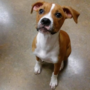 Easily adopt ZAZEE at Houston Boxer Rescue and be a part of the pet adoption, animal rescue and welfare movement.