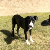 Easily adopt Holly at San Antonio Great Dane Rescue and be a part of the pet adoption, animal rescue and welfare movement.