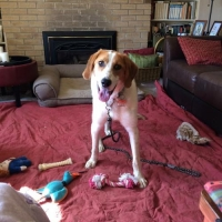 Easily adopt Beans at Gentle Jake's Coonhound Rescue and be a part of the pet adoption, animal rescue and welfare movement.