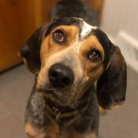 Easily adopt Copper at Gentle Jake's Coonhound Rescue and be a part of the pet adoption, animal rescue and welfare movement.