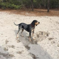 Easily adopt Sara Mae at Gentle Jake's Coonhound Rescue and be a part of the pet adoption, animal rescue and welfare movement.