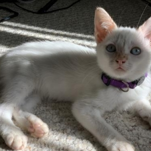 Easily adopt Quiche at Austin Siamese Rescue, Inc. and be a part of the pet adoption, animal rescue and welfare movement.