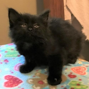 Easily adopt Black at Kitty City KS and be a part of the pet adoption, animal rescue and welfare movement.
