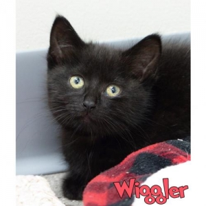 Easily adopt Wiggler at Ingham County Animal Control and Shelter and be a part of the pet adoption, animal rescue and welfare movement.