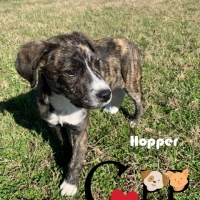 Easily adopt Hopper at Charlyne's Pound Puppies and be a part of the pet adoption, animal rescue and welfare movement.