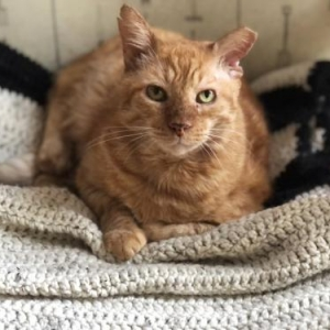 Easily adopt Big Red at Aristocats, Inc. and be a part of the pet adoption, animal rescue and welfare movement.