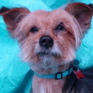 Easily adopt Bravo Clark at Joyful Rescues, Inc. and be a part of the pet adoption, animal rescue and welfare movement.