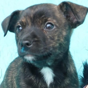 Easily adopt Gucci Clark at Joyful Rescues, Inc. and be a part of the pet adoption, animal rescue and welfare movement.