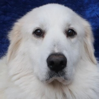 Easily adopt Gwyn at Joyful Rescues, Inc. and be a part of the pet adoption, animal rescue and welfare movement.