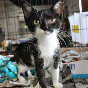 Easily adopt Cookie the Kitty at Safe At Last Animal Rescue and be a part of the pet adoption, animal rescue and welfare movement.