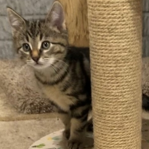 Easily adopt Arthur - Kitten at Rose's Rescue and be a part of the pet adoption, animal rescue and welfare movement.