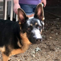 Easily adopt Gideon at Southeast German Shepherd Rescue and be a part of the pet adoption, animal rescue and welfare movement.