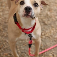 Easily adopt Chispa at Philadelphia Animal Welfare Society and be a part of the pet adoption, animal rescue and welfare movement.