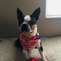 Easily adopt Bodie - PMRT at Ohio Fuzzy Pawz Shih Tzu Rescue, Inc. and be a part of the pet adoption, animal rescue and welfare movement.