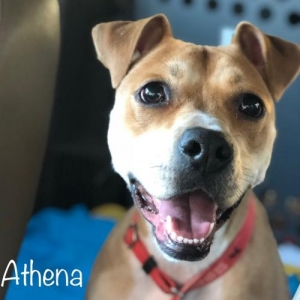Easily adopt Athena at Doggie Harmony and be a part of the pet adoption, animal rescue and welfare movement.