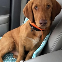 Easily adopt TODD at Tri-State Basset Hound Rescue and be a part of the pet adoption, animal rescue and welfare movement.