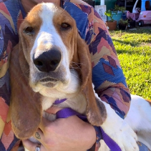 Easily adopt PETUNIA at Tri-State Basset Hound Rescue and be a part of the pet adoption, animal rescue and welfare movement.