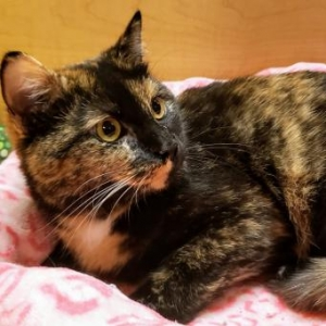 Easily adopt Alma at New Beginnings Cat Rescue and be a part of the pet adoption, animal rescue and welfare movement.