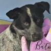 Easily adopt Batman at All Herding Breed Dog Rescue of Illinois and be a part of the pet adoption, animal rescue and welfare movement.
