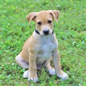 Easily adopt PUPPY THOR at Critter Companion Rescue and be a part of the pet adoption, animal rescue and welfare movement.