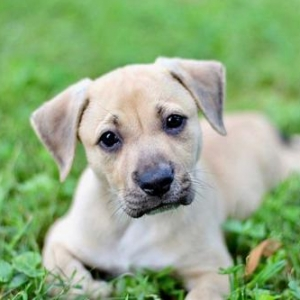 Easily adopt PUPPY APPOLO at Critter Companion Rescue and be a part of the pet adoption, animal rescue and welfare movement.