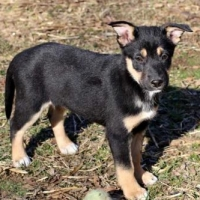 Easily adopt PUPPY IRIS at Critter Companion Rescue and be a part of the pet adoption, animal rescue and welfare movement.