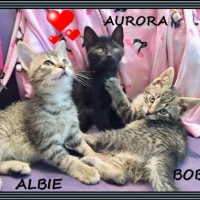 Easily adopt Siblings ~ Albie Aurora Bobby at Animalert Pet Adoption Inc. and be a part of the pet adoption, animal rescue and welfare movement.