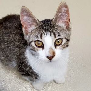 Easily adopt Bobby Cat - Reduced Fee! at Humane Society of Jefferson County and be a part of the pet adoption, animal rescue and welfare movement.