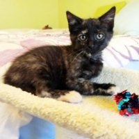 Easily adopt Ava at Island Cat Resources and Adoption and be a part of the pet adoption, animal rescue and welfare movement.