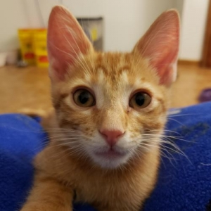 Easily adopt Belmont at Animal Rescue Foundation (ARF-IL) and be a part of the pet adoption, animal rescue and welfare movement.