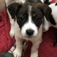 Easily adopt Beagle/JRT mix at Diane's Adoption Center and be a part of the pet adoption, animal rescue and welfare movement.