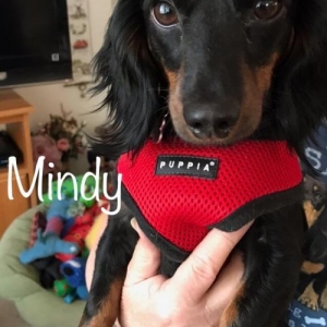 Easily adopt Mindy - LAS VEGAS, NV at Dachshund Rescue of Los Angeles and be a part of the pet adoption, animal rescue and welfare movement.