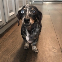 Easily adopt Lola at Dachshund Rescue of Los Angeles and be a part of the pet adoption, animal rescue and welfare movement.
